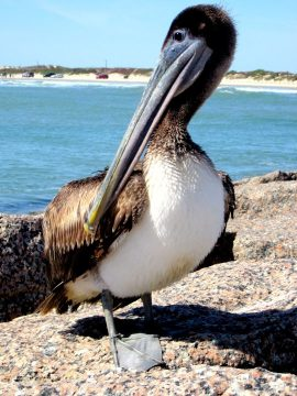 Brown pelican posing for the camera at Port Aransas Texas Gulf Coast - fishing and birding is popular along the coast