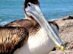 Texas Gulf Coast - brown pelicans are abundant around Port Aransas - walk to the jetty for a close up look