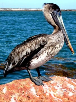 Brown pelican on a rock at the jetty - Port Aransas Texas Gulf Coast - birdwatching and fishing all year