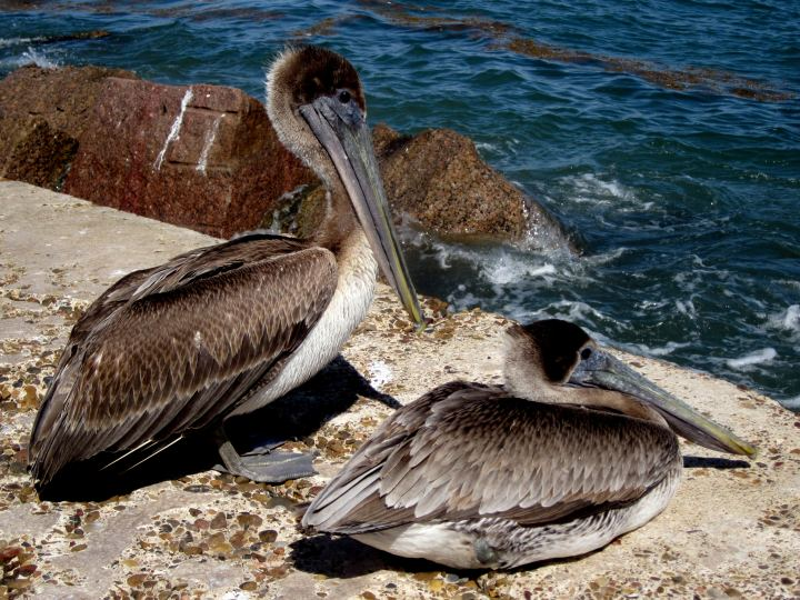 A pair of brown pelicans at the jetty - Port Aransas. Flocks of brown pelicans are common along the Texas Gulf Coast