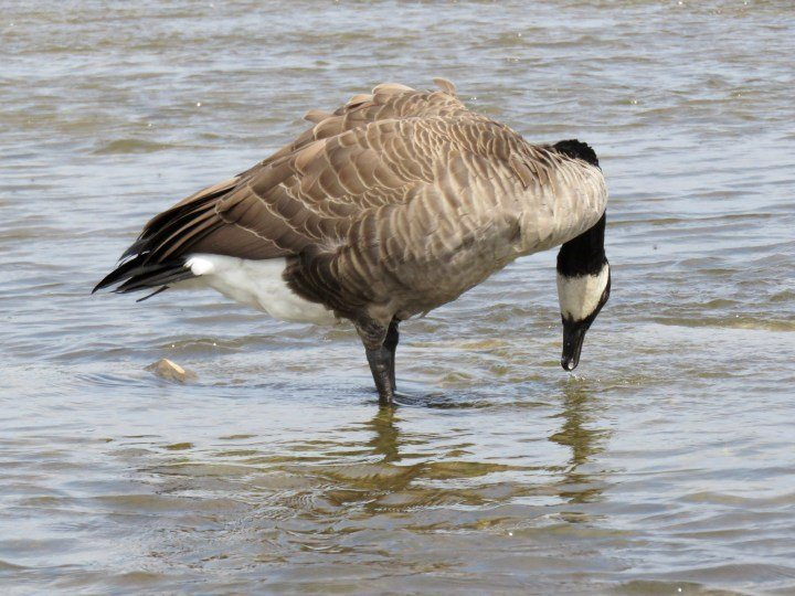 Canada goose dining at the Ottawa River