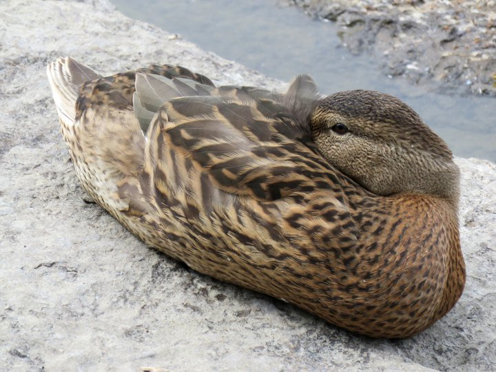 Duck resting along the shores of the Ottawa River