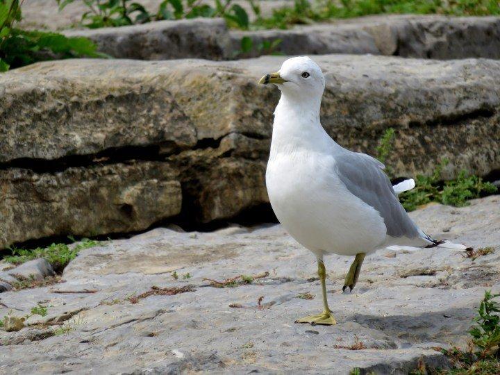 Sea gull along the Ottawa River