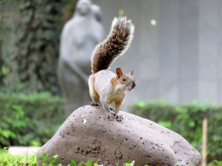 Squirrels are abundant at Chapultepec Park in Mexico City - they will greet you when you enter the park