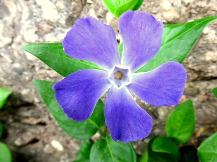Montserrat day trip from Barcelona - highly recommended! Hike the trails of Montserrat and enjoy beautiful nature - shown here is a periwinkle wildflower