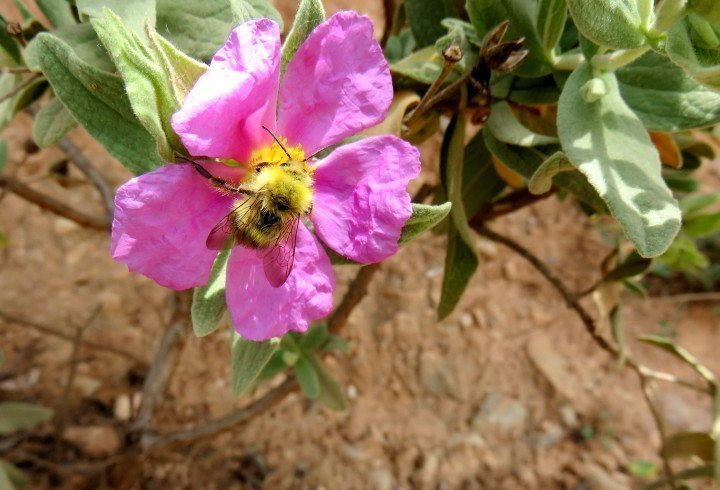 Barcelona to Montserrat day trip - hiking the trails wildflowers are plentiful - bee visiting a grey leaved cistus pretty pink bloom