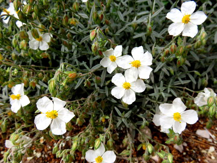 Wildflowers Montserrat hiking trails - narrow leaved cistus blooms white, many other varieties of wildflowers can be seen along the trails