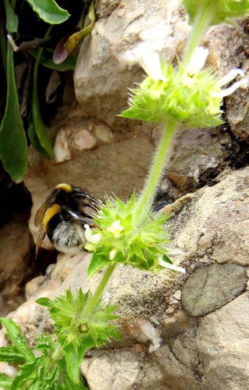 Wildflowers of Montserrat Catalonia Spain - abundant flowers as well as busy bees
