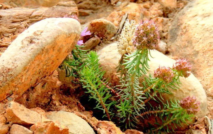 Wildflower blooms in the rocky terrain of Montserrat - Catalonia Spain - a great day trip from Barcelona