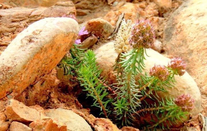 Wildflower blooms in the rocky terrain of Montserrat - Catalonia Spain - a great day trip from Barcelona