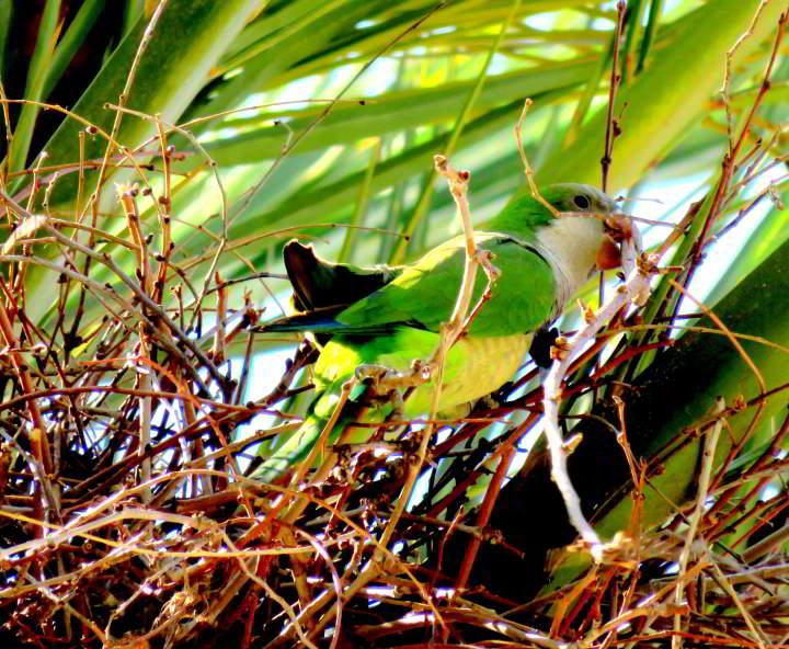 Barcelona parakeet nest building near Arr de Triomf