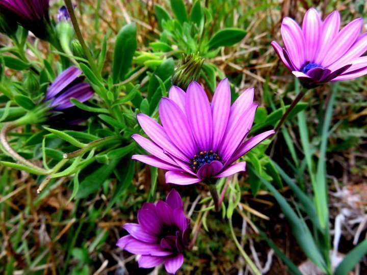 Purple wildflowers along GR92 foot path at Lloret de Mar in Costa Brava