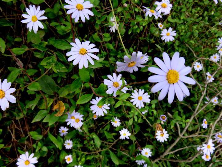Hiking Costa Brava near Lloret de Mar wildflowers - beautiful daisies blooming