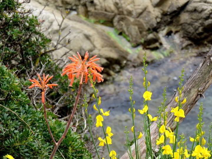 Costa Brava hiking trails - - Lloret de Mar wildflowers along the foot path