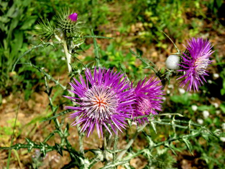 Hiking Costa Brava - wildflowers blooming along the coastal foot paths - thistle in bloom