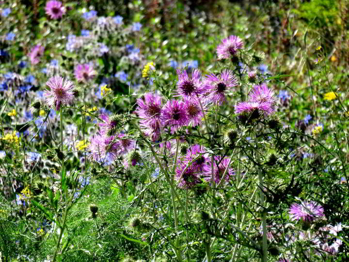 Hiking Lloret de Mar - wildflowers along the GR92 foot path