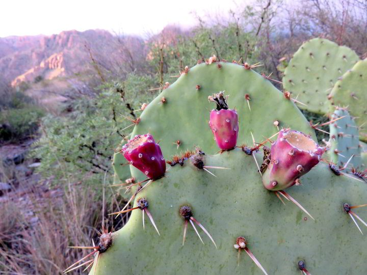 Prickly pear cactus with three bright red fruit pods