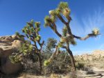 Joshua trees along the Barker Dam Trail - Joshua Tree National Park - Palm Springs Day Trip