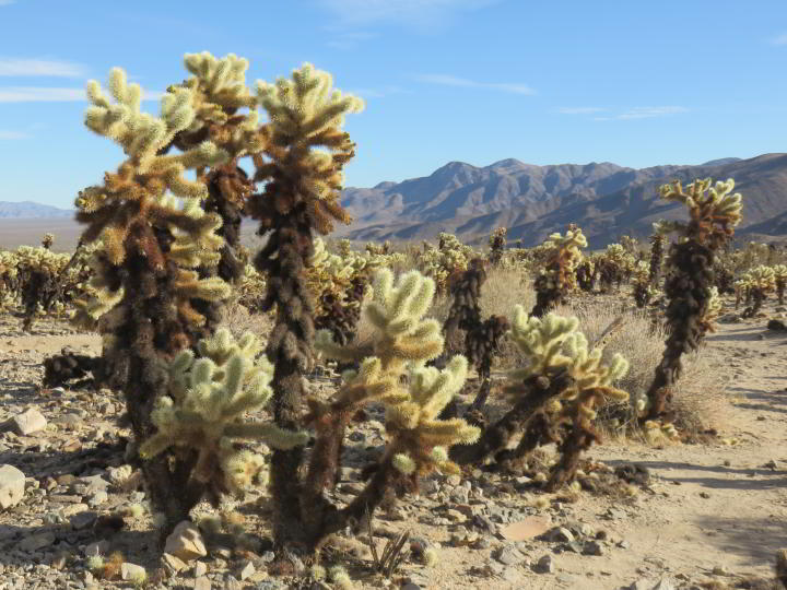 A field of cholla cactus with a mountain view at the Cholla Cactus Garden in Joshua Tree National Park in Southern California