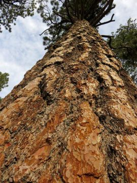 Looking up the trunk of a Jeffrey Pine tree at Mt San Jacinto State Park in Palm Springs California