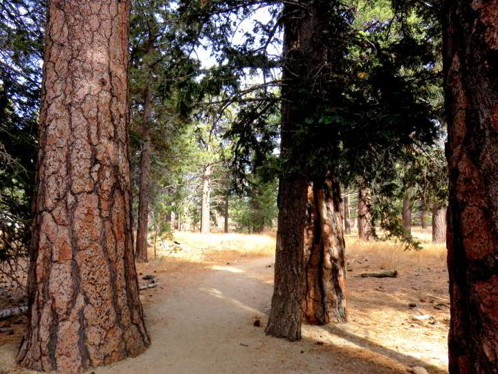 Several Jeffrey Pine trees along the walking trail at Mt San Jacinto State Park