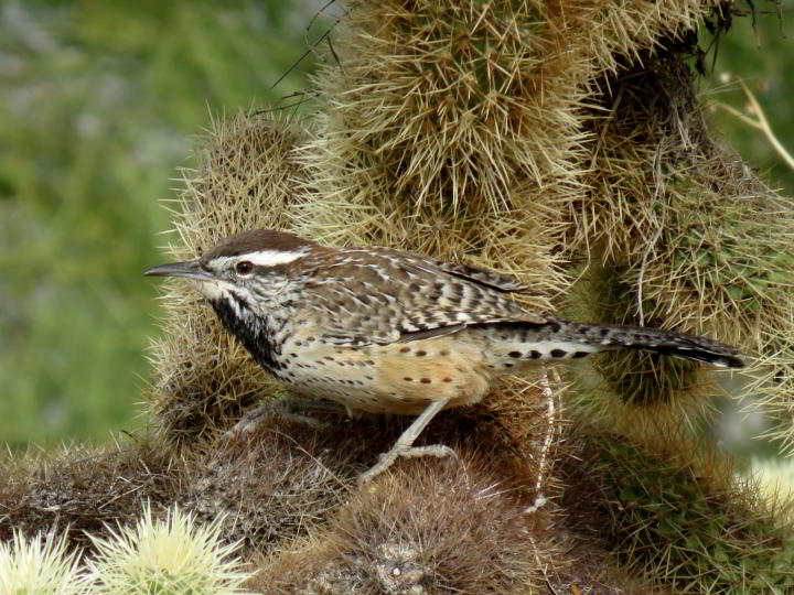 Saw this Cactus Wren hopping about the cholla cactus while solo hiking in Tucson