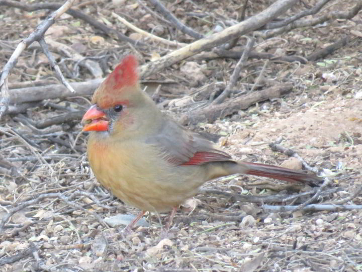 Red crowned female Cardinal feeding on seeds - Tucson AZ