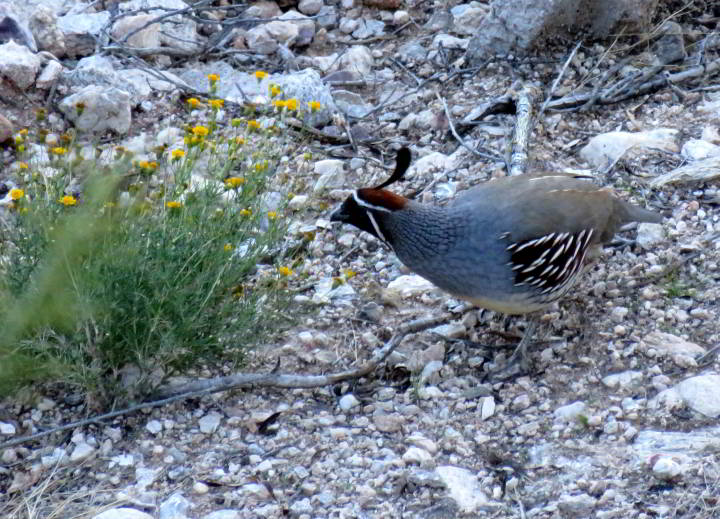 A male Gambel's Quail feeds on yellow flowers - Tucson AZ