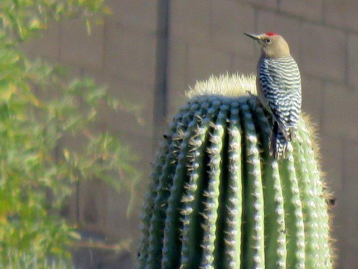 Gila Woodpecker sitting atop a Saguaro cactus in Tucson AZ