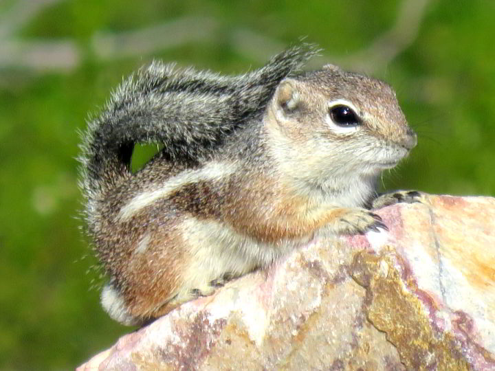 Harris's Antelope Squirrel - recognizable by the narrow white strips along the side - Tucson AZ hiking