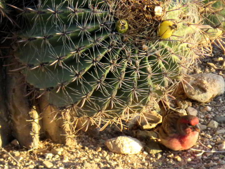 A tiny House Finch beside a barrel cactus - Tucson Arizona - Sonoran Desert