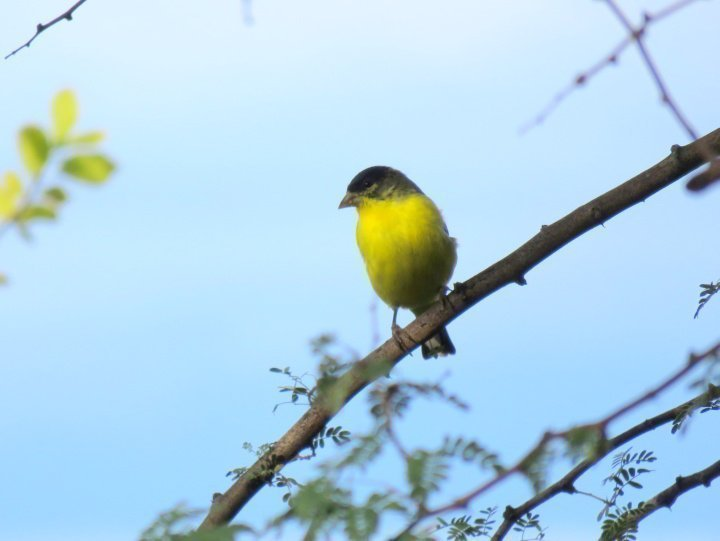 Lesser Goldfinch is a small bird with bright yellow breast and dark face and head - Tucson AZ hiking trails