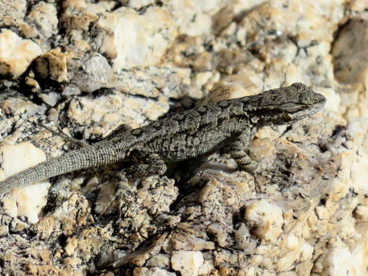 Grey and black lizard resting on a rock at Molino Basin - Mt Lemmon - Tucson AZ