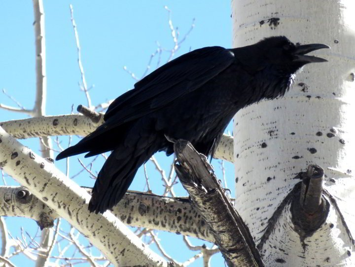 Stark contrast of a raven with light blue sky in the background and the white bark of an Aspen tree at Mt Lemmon - Tucson AZ