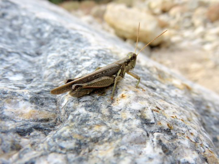 Grasshopper on a rock at Sabino Canyon - Tucson AZ