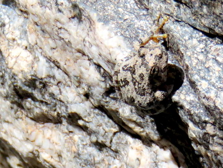 Solo hiking Sabino Canyon - 7 Falls Trail - a Canyon Tree Frog is well camouflaged while resting on a rock