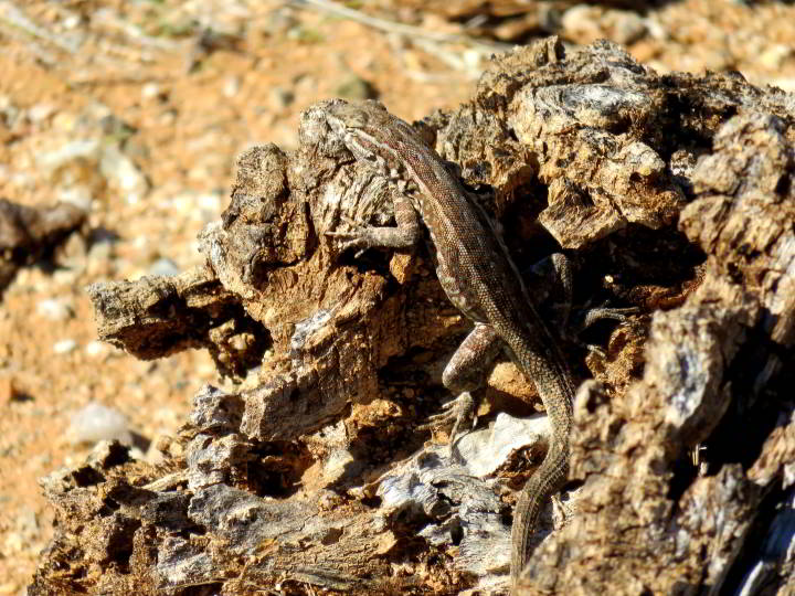 Lizard blends with rock background - Saguaro National Park - Tucson AZ