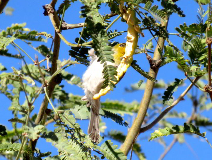 Bright yellow face of the Verdin bird - sitting in a tree - Tucson AZ