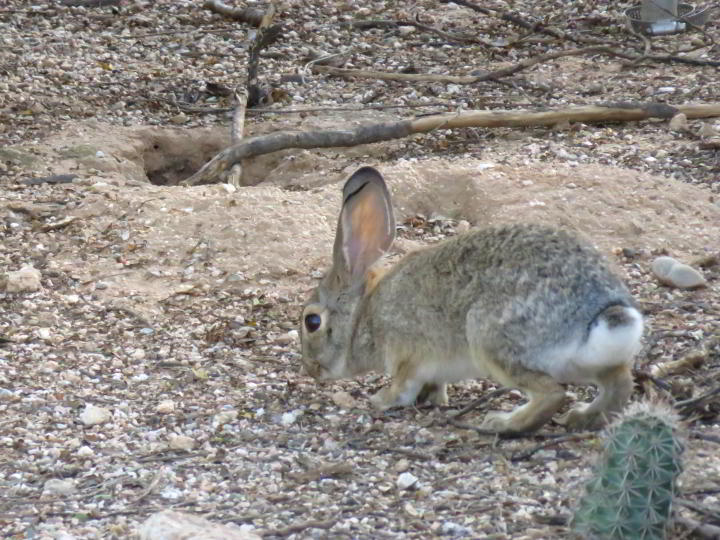 Desert cottontail rabbit foraging for food in Tucson Arizona - Sonoran Desert