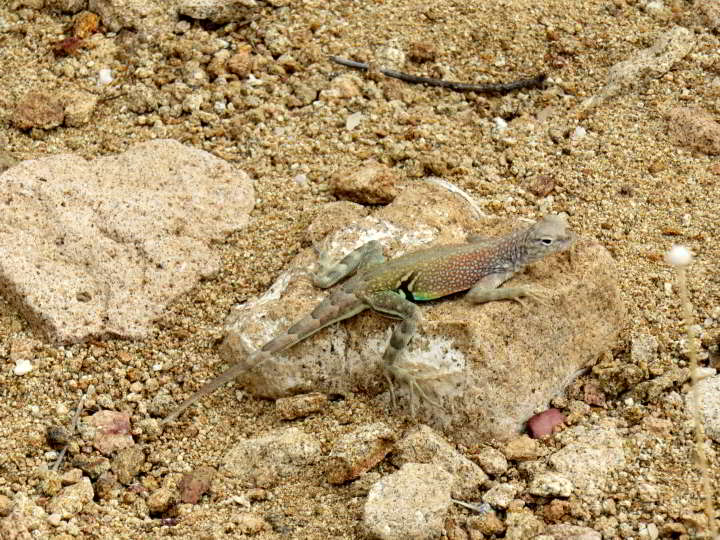 An earless lizard resting on a rock in the sandy trail of Grapevine Hills Trail at Big Bend National Park in Texas