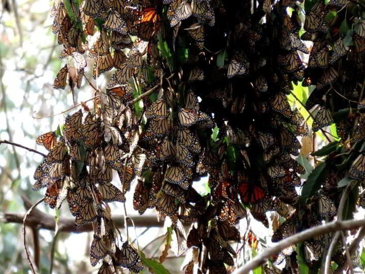 Clusters of dozens monarch butterflies in Goleta California overwintering spot