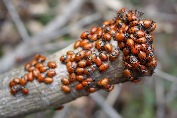 Dozens of ladybugs clustered on a branch - Redwood Regional Park in Oakland CA