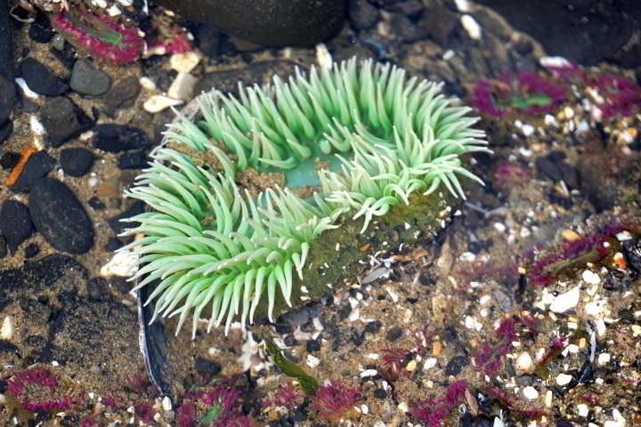 Green and pink sea anemones - tide pools on the Pacific coast - Cannon Beach Oregon