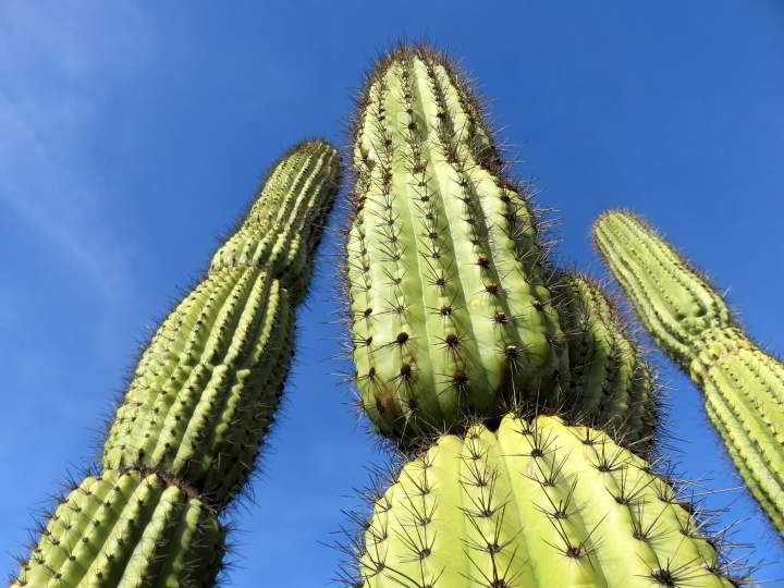 Saguaro cactus against a pretty blue sky