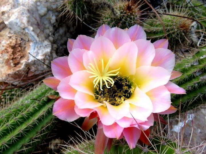 Bright pink and yellow cactus bloom at the Botanical Garden in Tucson AZ