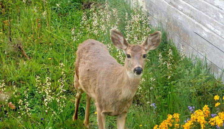Deer - Poet Townsend WA