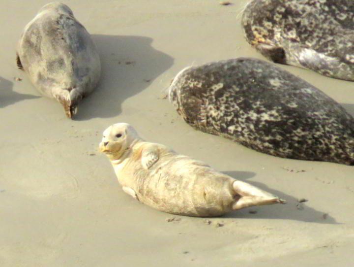 Harbor seals give birth to cubs from December through May at Carpinteria Seal Rookery at Carpinteria Bluffs - California