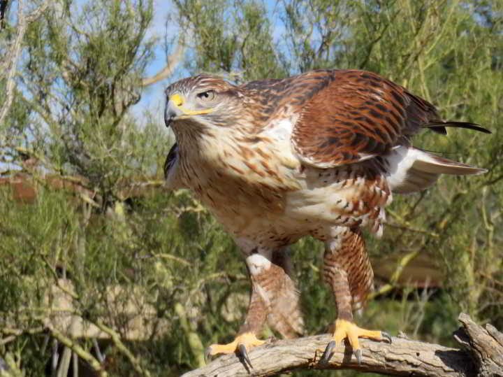 Ferruginous Hawk in Tucson AZ