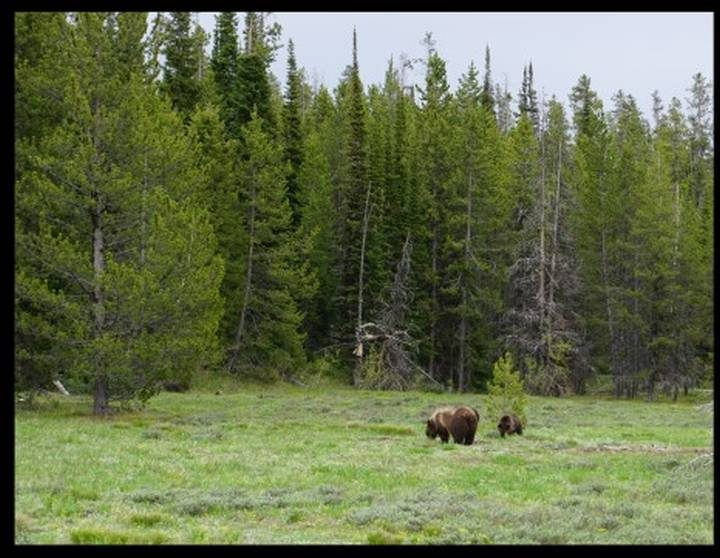 Mama grizzly bear and cubs at Yellowstone National Park