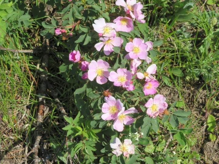Bright pink and yellow blooms of Alberta wild rose - the official flower of Alberta Canada